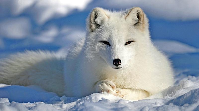 Arctic fox docuu.jpg