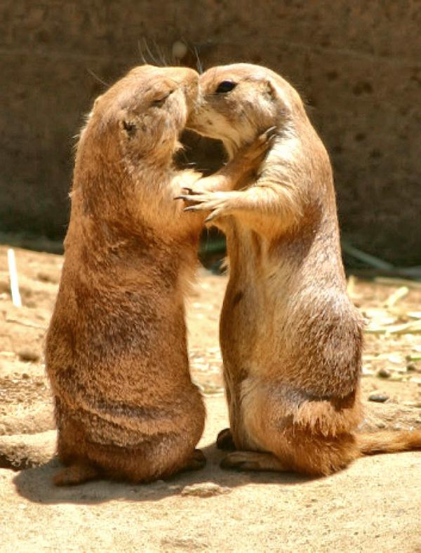 prairie dogs kissing docu.jpg