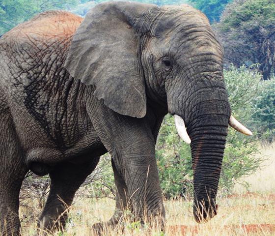 Pushing Elephants toExtinction
