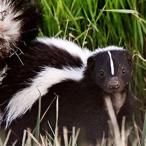 What Did the Skunk Tell Me and You?
