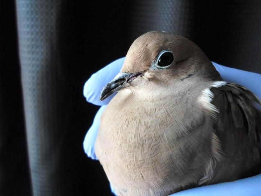 Dove by Curtian.jpg