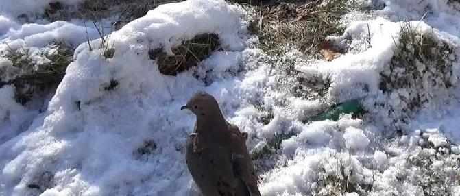 Dove sitting in snow.jpg