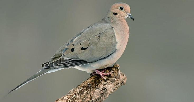 Mourning Dove on Branch  lg pint.jpg