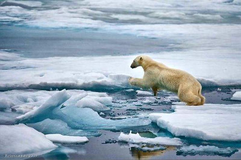 Polar bear jumping ice flows  docu.jpg