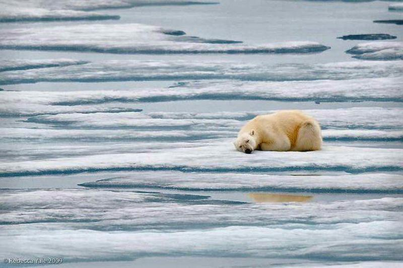 Polar bear sleeping on ice flow docu.jpg