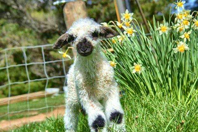 Baby lack nose sheep web