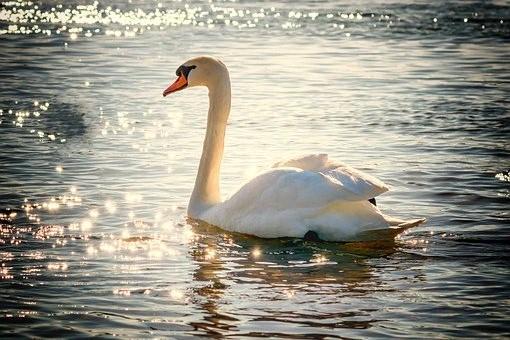 swan-2077219__340 (2)