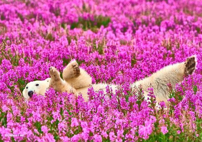 Polar bear in pink flowers
