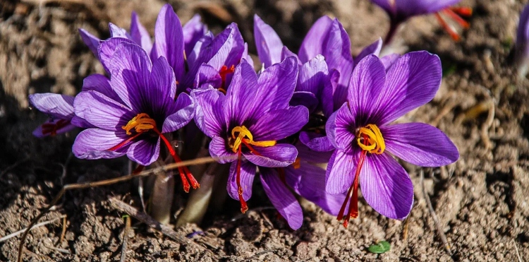 Saffron (Crocus sativus) – The world's most precious spice – Why is the so expensive, history and legends, healthbenefits